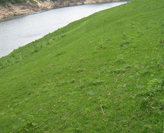 包衣狗牙根保护河堤